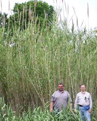 arundo