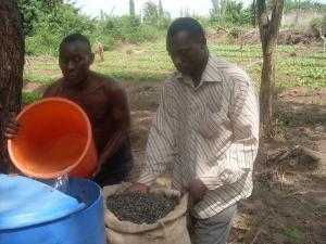 From L-R Mr. Kehinde (Field Worker) and Mr. Oladunjoye A. Waleola(M.D) Avandith Renewable Energy Ltd. Nig. During soaking of Jatropha seeds in readiness for planting at Oyo State. (26/01/2009).