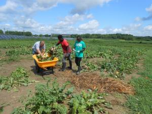 16 0818 First Harvest Harvesting Energy Beet in Test Plot field UMES