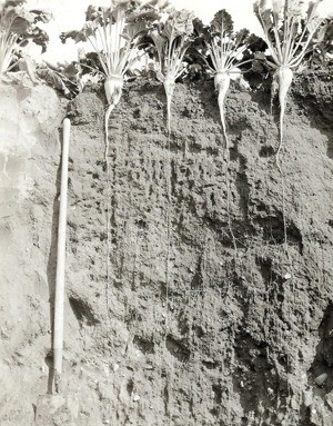 Sugar beet taproots can extend 6 feet into the ground.