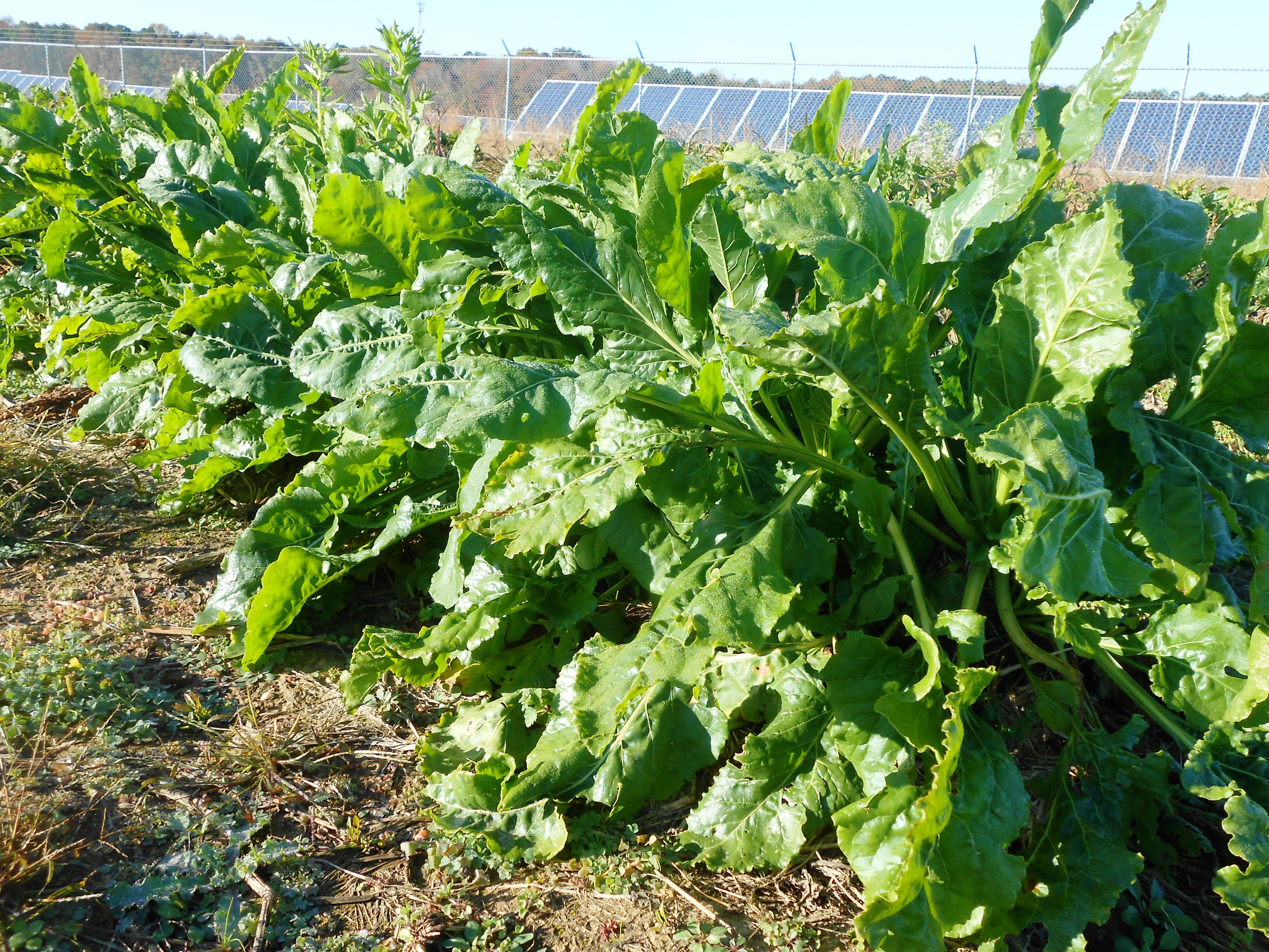Energy beets growing in November at UMES test field watched over by solar panels.
